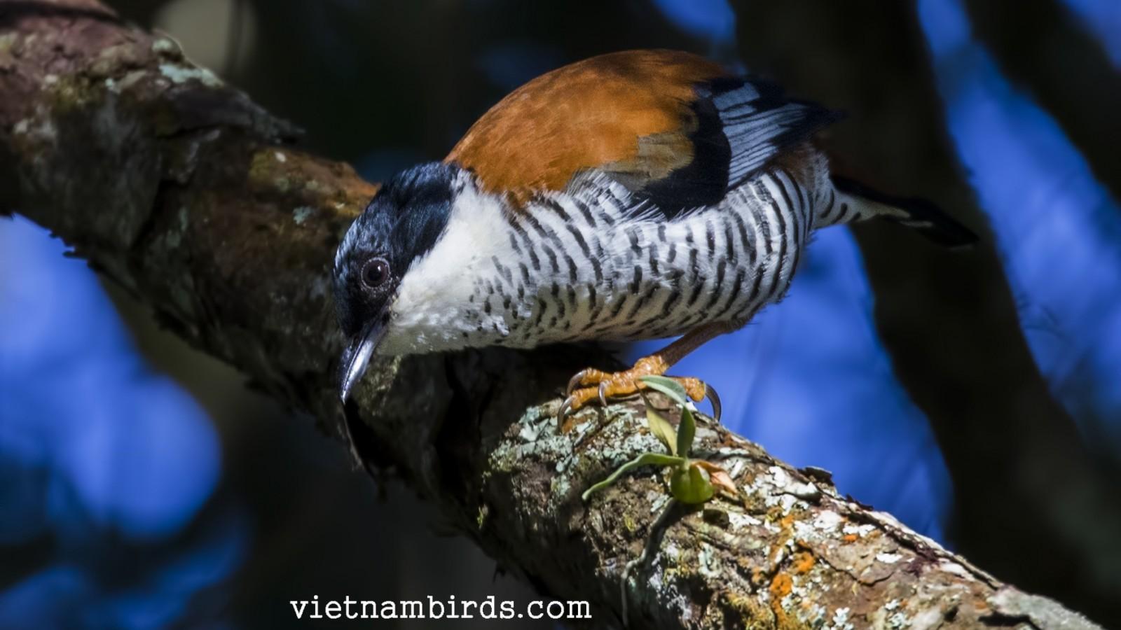 Vietnamese Cutia - Endemic