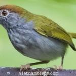 Comon Tailorbird